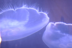 Jellyfish Recession story for ABC World News